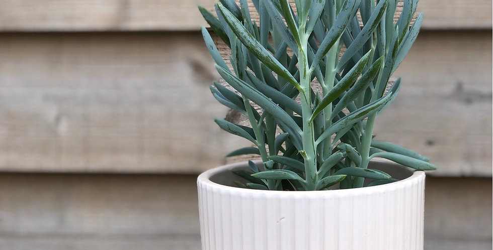 Mount Everest Plant in Pale Pink Pot