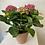Thumbnail: Pink Hydrangea In Terracotta Pot