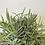 Thumbnail: Lavender Plant