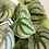 Thumbnail: Water Melon Plant In Pot