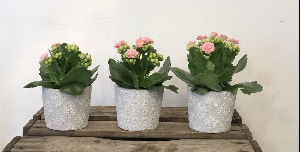 Trio of Pink Kalanchoes