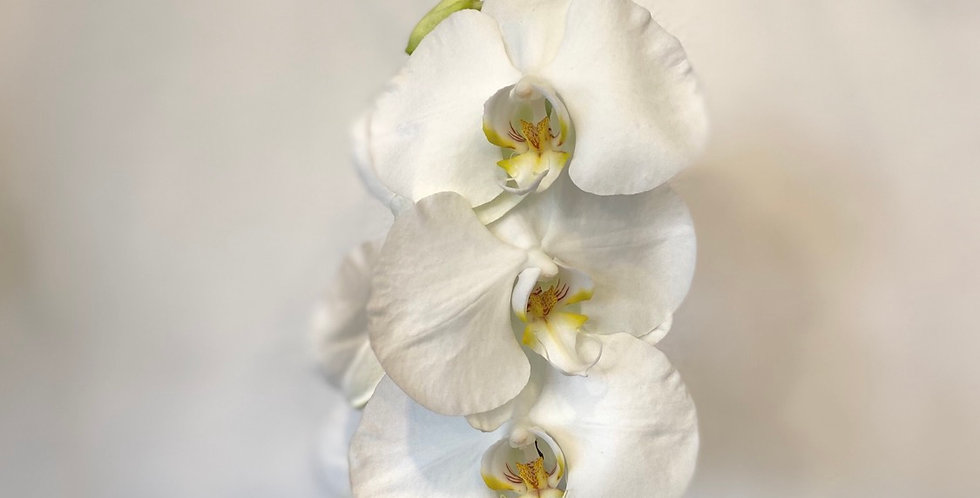 Orchid In White Pot
