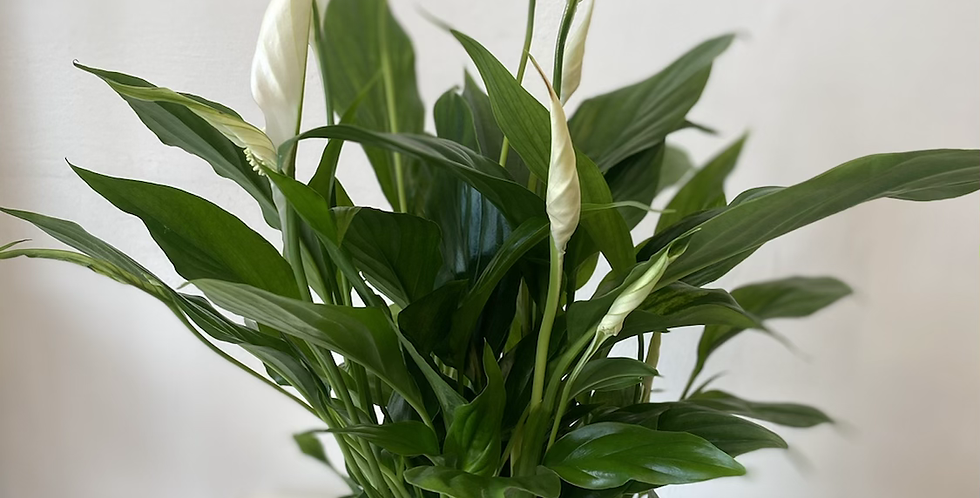 Peace Lily in Black Pot