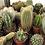 Thumbnail: Mini Cactus