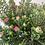 Thumbnail: Hebe Plant