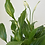 Thumbnail: Peace Lilly in Pot