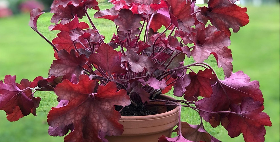 Red Alumroot