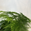 Thumbnail: Asparagus Plant