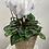 Thumbnail: Medium Size Cyclamen Plant