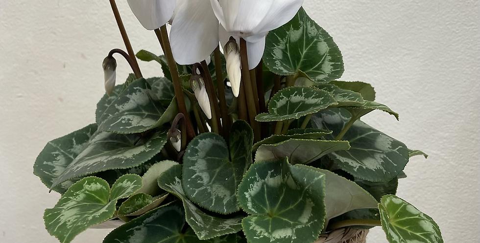 Medium Size Cyclamen Plant