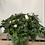 Thumbnail: Azaleas Plant