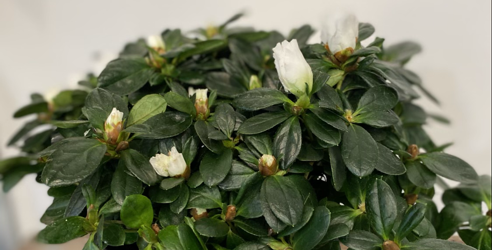Azaleas Plant