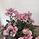 Thumbnail: Diascia Plant