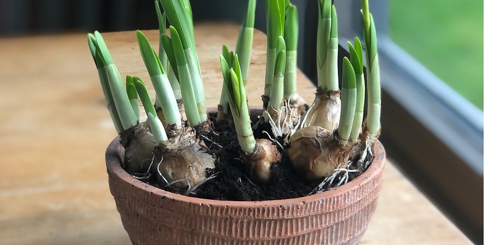 Tete a Tete Bulbs in Terracotta Bowl