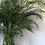 Thumbnail: Large Cascade Palm