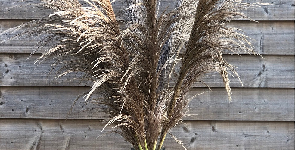 Cortaderia/Pampas Grasses (Vase not included)