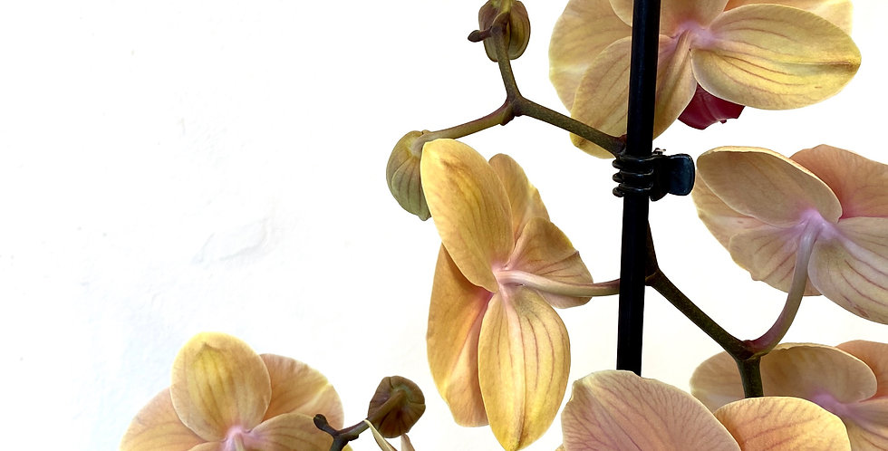 Yellow And Purple Orchid In Pot