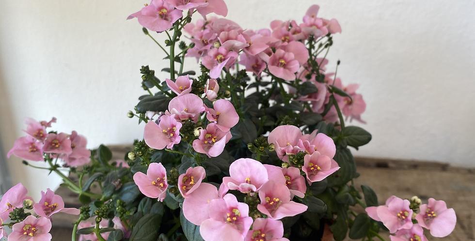 Diascia Plant