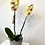 Thumbnail: Yellow Orchid In Pot