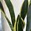 Thumbnail: Snake Plant In Terracotta Pot