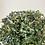 Thumbnail: Holly Plant