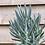 Thumbnail: Mount Everest Plant in Pale Green Pot