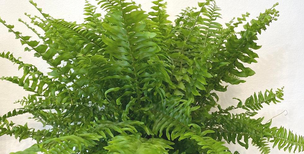 Nephrolepis Green Fern