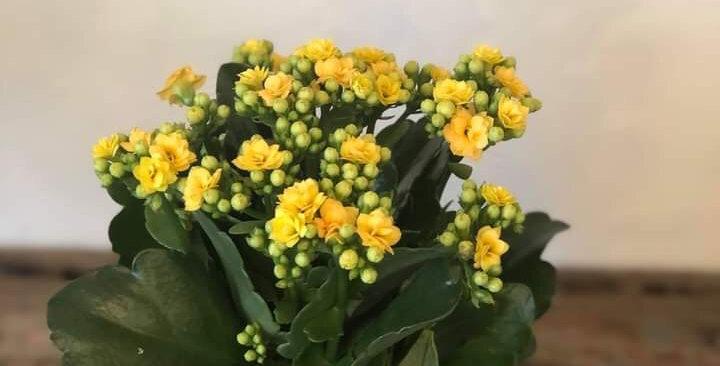 Yellow Kolancheo