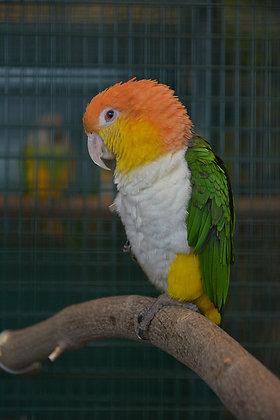 Caïque à tête orange