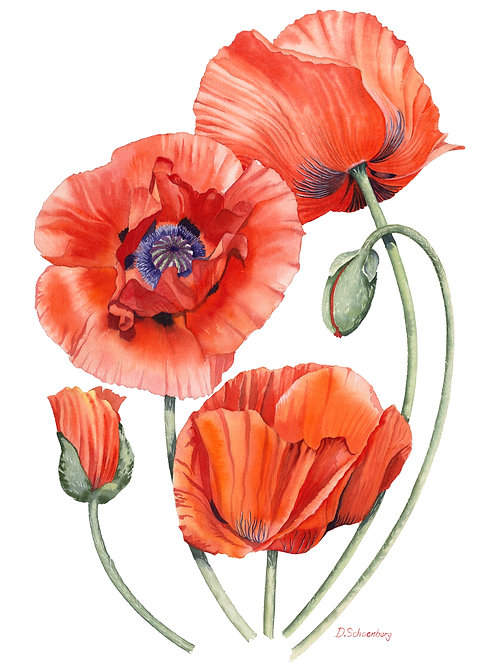 Ltd edition print of an original watercolour of red poppies