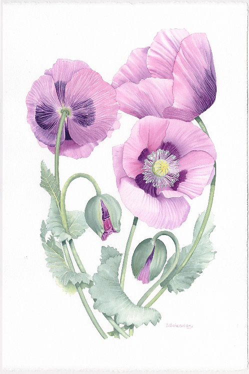 Ltd edition print of an original watercolour of pink poppies