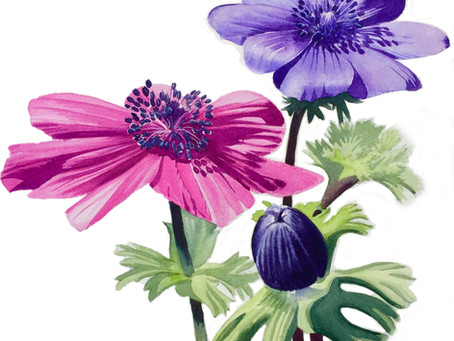 Painting Anemones with Quinacridone Magenta and Winsor Violet