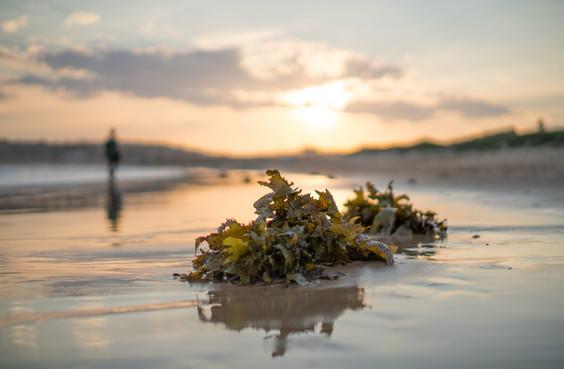 Seaweed, Dee Why