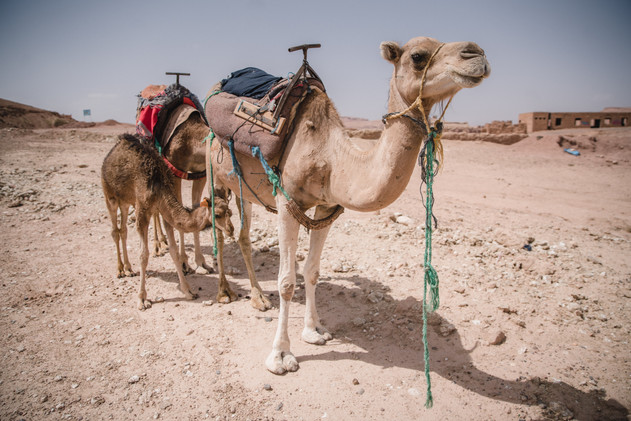 Camels, Morocco
