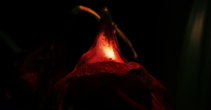 Amaryllis #2