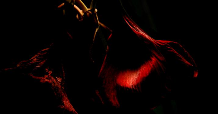 Amaryllis #3