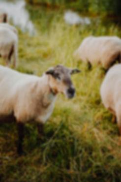 schapen (2 van 11).jpg