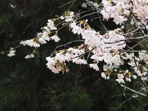 大元公園の桜