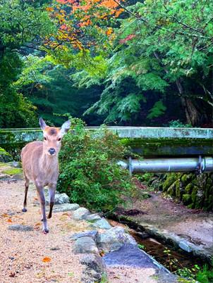 川沿いを歩く鹿さん