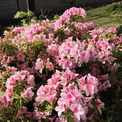 季節は桜からツツジに