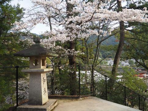 塔の岡下の桜