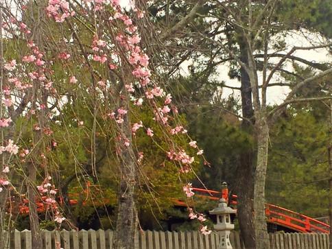 反橋側の桜