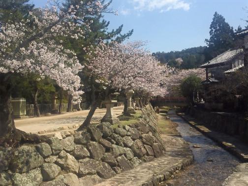 4/2の桜並木です