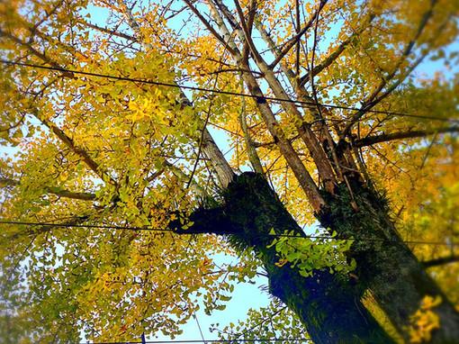 神社そばの銀杏の木