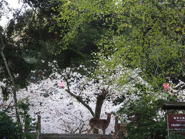 紅葉谷公園の桜と鹿