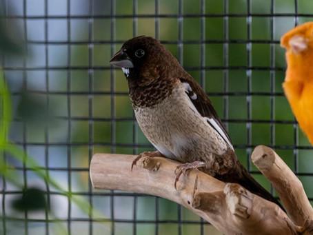 Les oiseaux exotiques, une passion