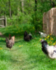 chickens-in-field.jpg