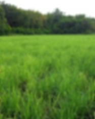 LemongrassField.jpg
