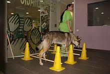 Recuperació. Exercicis. Fisioteràpia, Rehabilitacio. Dacs Veterinaria, rehabilitación, fisioterapia, mobilitat, lesions