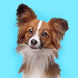 かわいいパピヨン犬